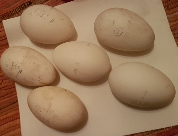 Eggs marked up for the incubator