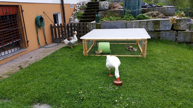 A crowproof (and temporarily rainproof) pen where the adult geese can bond with the incubator-hatched goslings